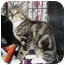 Photo 2 - Domestic Shorthair Kitten for adoption in Houston, Texas - Maribel