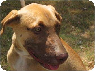 German Shepherd Dog/Golden Retriever Mix Dog for adoption in Spring Valley, New York - Hershey