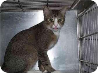 Domestic Shorthair Cat for adoption in El Cajon, California - Thomas