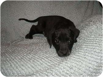 Labrador Retriever Mix Puppy for adoption in Rochester, New Hampshire - Dixie