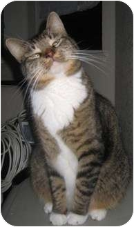 Domestic Shorthair Cat for adoption in Tracy, California - Charity-Adopted!