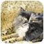 Photo 3 - Persian Cat for adoption in Columbus, Ohio - Lady Joy