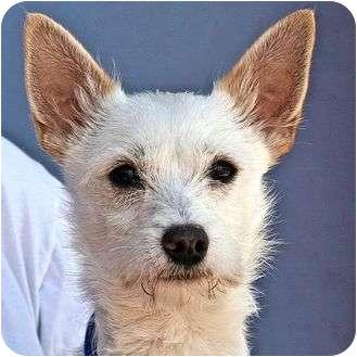 Cairn Terrier Mix Puppy for adoption in Berkeley, California - Baxter