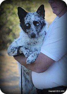 Australian Kelpie/Australian Cattle Dog Mix Dog for adoption in Weatherford, Texas - *LACEY*