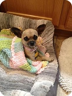 Chihuahua Mix Puppy for adoption in Las Vegas, Nevada - Abby