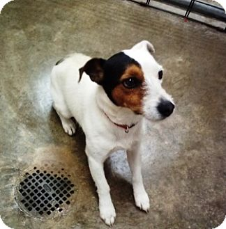 Jack Russell Terrier Mix Dog for adoption in Florence, Indiana - Griffey
