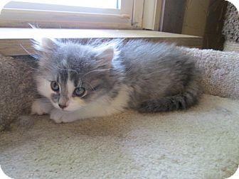 Domestic Longhair Kitten for adoption in Richland, Michigan - Chloe