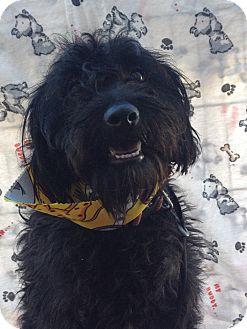 Terrier (Unknown Type, Small)/Schnauzer (Standard) Mix Dog for adoption in Santa Monica, California - Benji