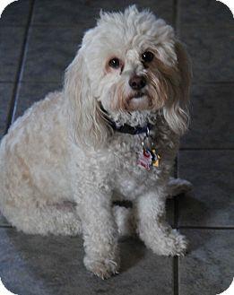 Poodle (Miniature)/Maltese Mix Dog for adoption in Yuba City, California - Bambi