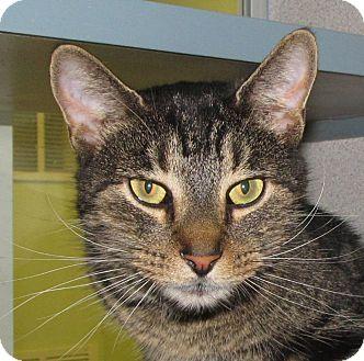 Domestic Shorthair Cat for adoption in Walden, New York - Eli Manning