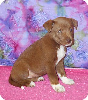 Labrador Retriever/Shepherd (Unknown Type) Mix Puppy for adoption in Allentown, New Jersey - Chickasaw