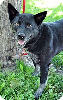 Cattle Dog/Shepherd (Unknown Type) Mix Dog for adoption in Fort Leavenworth, Kansas - George