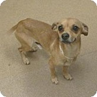 Chihuahua Mix Dog for adoption in Las Vegas, Nevada - Bitzy