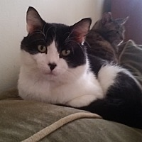 Adopt A Pet :: S'more - St. Louis, MO