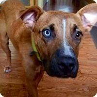 Adopt A Pet :: Sawyer - Barnegat, NJ