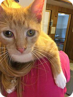 Domestic Shorthair Kitten for adoption in Hanna City, Illinois - Harvey- adoption pending