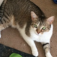 Abyssinian Cat for adoption in Jacksonville, Florida - Lola & Boswell