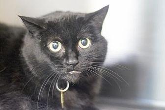 Domestic Shorthair Cat for adoption in Mountain Home, Arkansas - Diamond