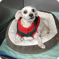 Maltese Mix Dog for adoption in Bronx, New York - Nicky