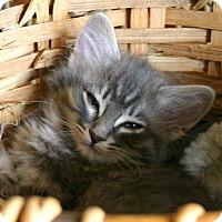 Adopt A Pet :: Angie - Sherman Oaks, CA