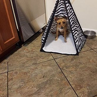 Chihuahua/Terrier (Unknown Type, Medium) Mix Dog for adoption in Wilmington, Delaware - Girlfriend