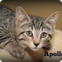 Adopt A Pet :: Apollo - Glen Mills, PA