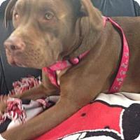 Adopt A Pet :: Shayna - Needs Foster - Gilbertsville, PA