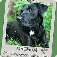 Adopt A Pet :: MAGNUM - Lincoln, NE