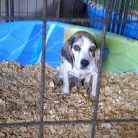 Beagle Mix Dog for adoption in Opelousas, Louisiana - Bozo