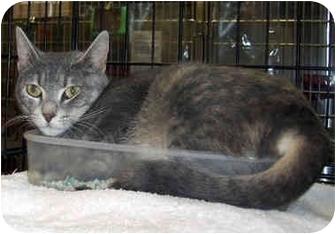 Domestic Shorthair Cat for adoption in Overland Park, Kansas - Violet