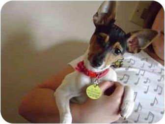 Toy Fox Terrier Puppy for adoption in Kokomo, Indiana - Kaleb
