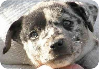 Catahoula Leopard Dog Puppy for adoption in Meridian, Idaho - Sam