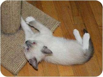 Siamese Kitten for adoption in Oxford, Connecticut - Gabriel