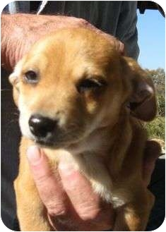 Chihuahua Mix Puppy for adoption in Portland, Maine - Max