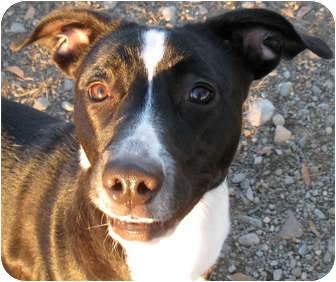 American Staffordshire Terrier Mix Dog for adoption in Hayden, Idaho - Lola