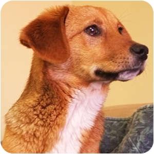 Golden Retriever Mix Puppy for adoption in Philadelphia, Pennsylvania - Donna