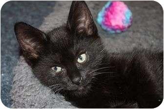 Domestic Shorthair Kitten for adoption in Little Falls, New Jersey - Osi (le)