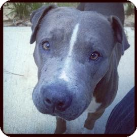 American Pit Bull Terrier Mix Dog for adoption in Gainesville, Florida - Tarzan
