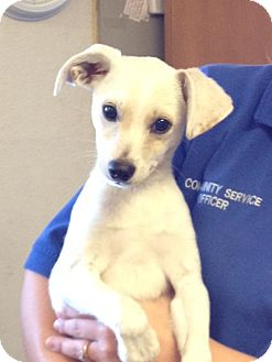 Terrier (Unknown Type, Medium) Mix Puppy for adoption in Gustine, California - GUSTI