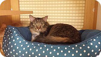 Domestic Shorthair Cat for adoption in Edmond, Oklahoma - Polka Dot