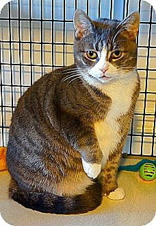 Domestic Shorthair Cat for adoption in Victor, New York - Dolly
