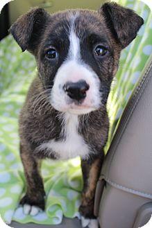 Boxer/German Shepherd Dog Mix Puppy for adoption in Greenville, Virginia - Tyson