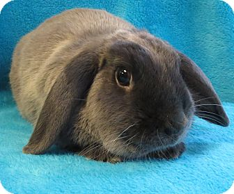 Mini Lop for adoption in Los Angeles, California - Bear