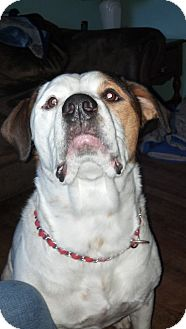 Boxer Mix Dog for adoption in Conesus, New York - Harley ~courtesy post~