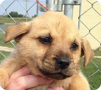 German Shepherd Dog/Golden Retriever Mix Puppy for adoption in CHICAGO, Illinois - THEODORE