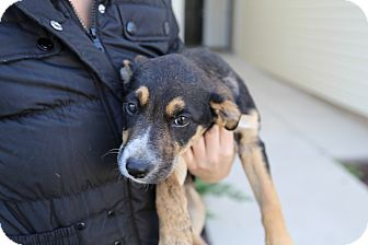 Hound (Unknown Type)/Collie Mix Puppy for adoption in Manassas, Virginia - Peanut (previously puppy 4)