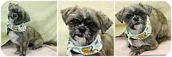 Shih Tzu Mix Dog for adoption in Forked River, New Jersey - Sheila