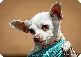 Chihuahua Dog for adoption in Westminster, California - Peanut
