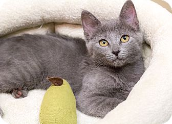 Domestic Shorthair Kitten for adoption in Chicago, Illinois - Jambalaya