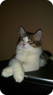 Domestic Mediumhair Kitten for adoption in McHenry, Illinois - Travis